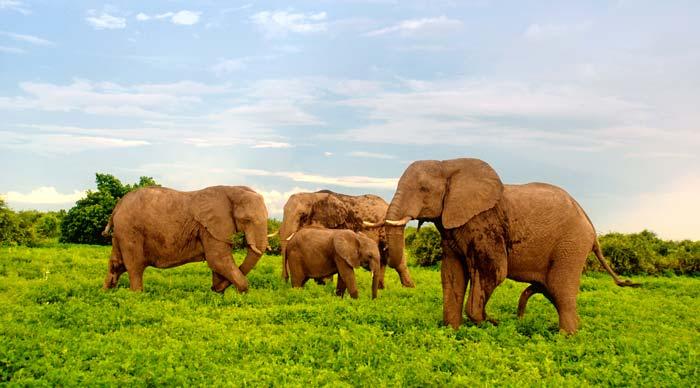 Elephants Grazing in Chobe-National-Park