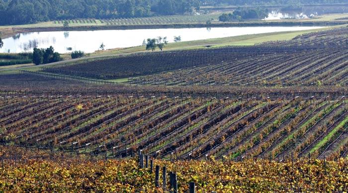 Vineyard in the Hunter Valley