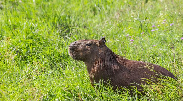 Capybara sitting in a field in Esteros del Ibera Argentina