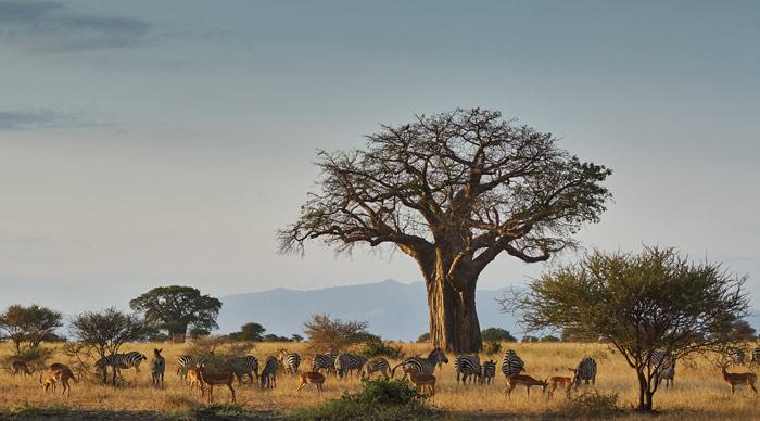 Zebras, Imapala, Baobab tree at Tarangire National Park