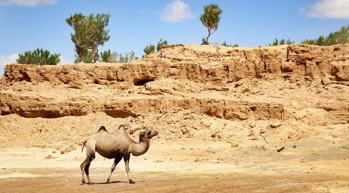 A camel walking through the Gobi desert