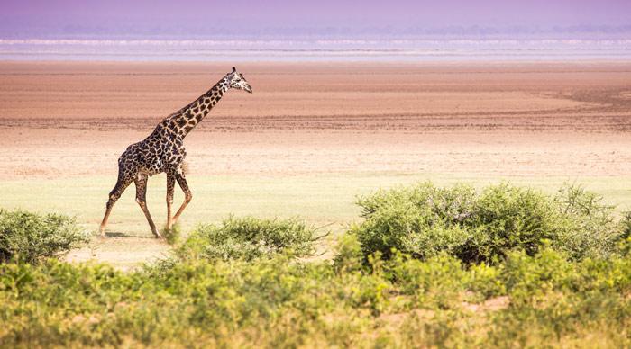 Giraffes in Lake Manyara national park Tanzania