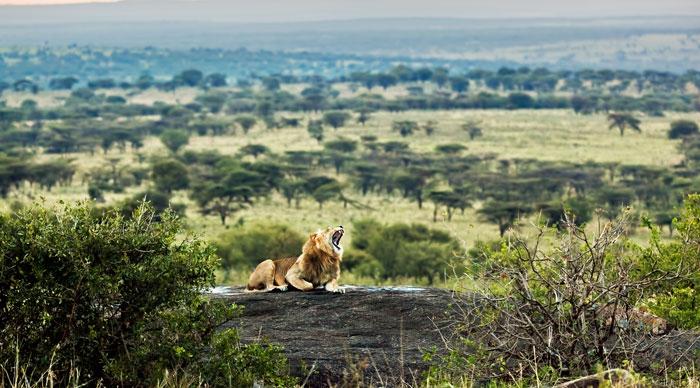 Lion lying on rocks and roars on savanna at sunset