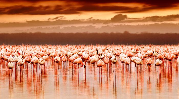 A group of African flamingos in Lake Nakuru National Park Reserve
