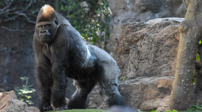 Mountain gorilla in the Bwindi National Park