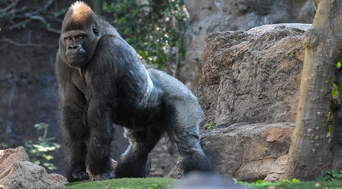 Strong Adult Black Gorilla seen in Uganda